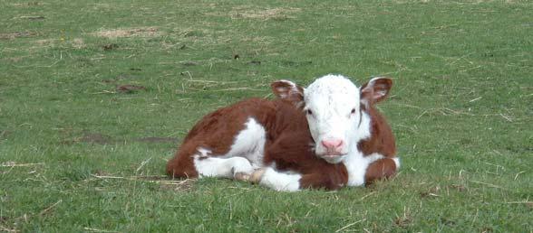 calf immunity