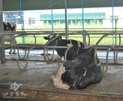 R-type cantilever double row cow bed